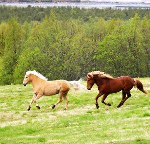 Lyng-hesten